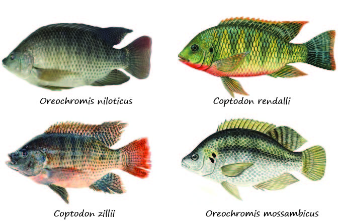 Ilustraciones de tilápias