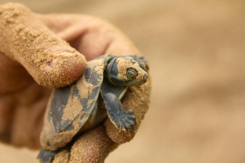Probando la eficiencia de las Áreas Protegidas para la conservación de tortugas de agua dulce en la Amazonía brasilera