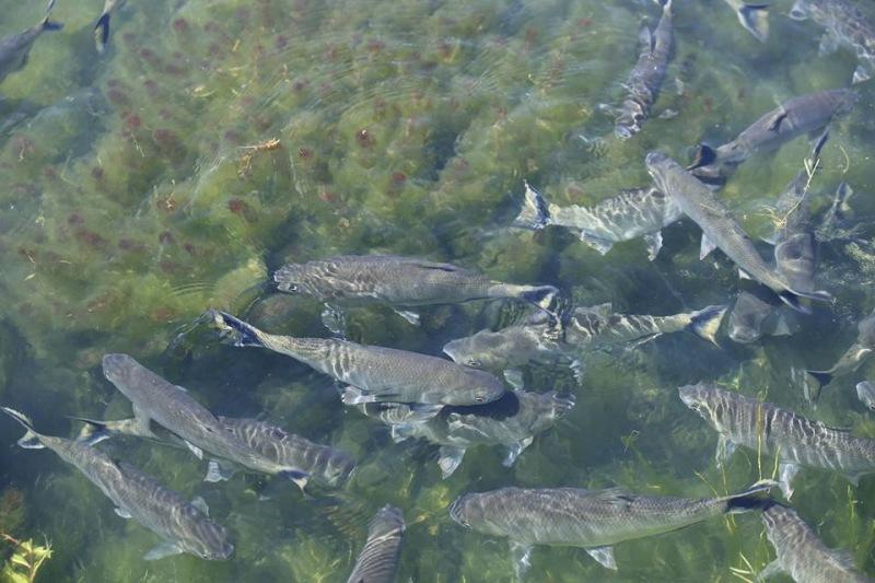 Peixes do Pantanal, Brasil