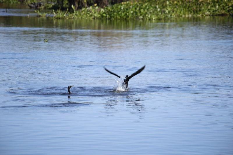 Aves do Pantanal, Brasil