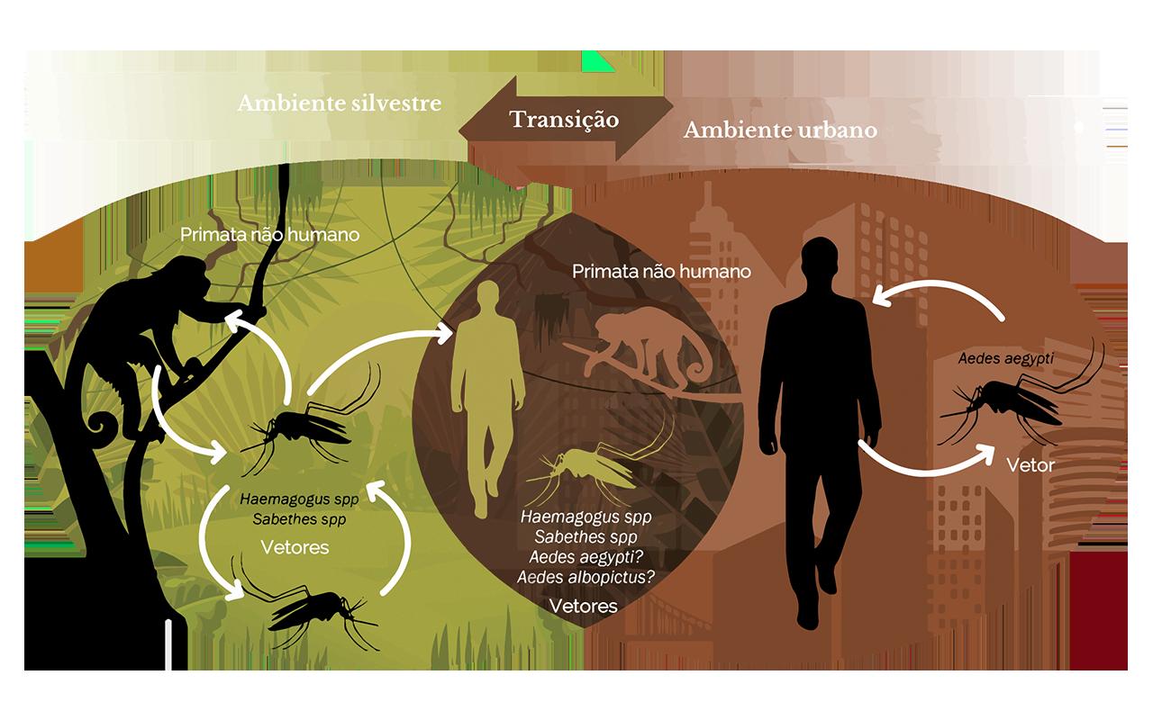 Transmisão primata não humano, Aedes aegypty, humano (PT)
