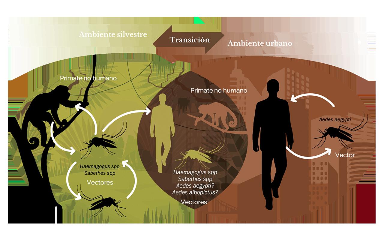 Transmisión primate no humano, Aedes aegypty, humano (ES)