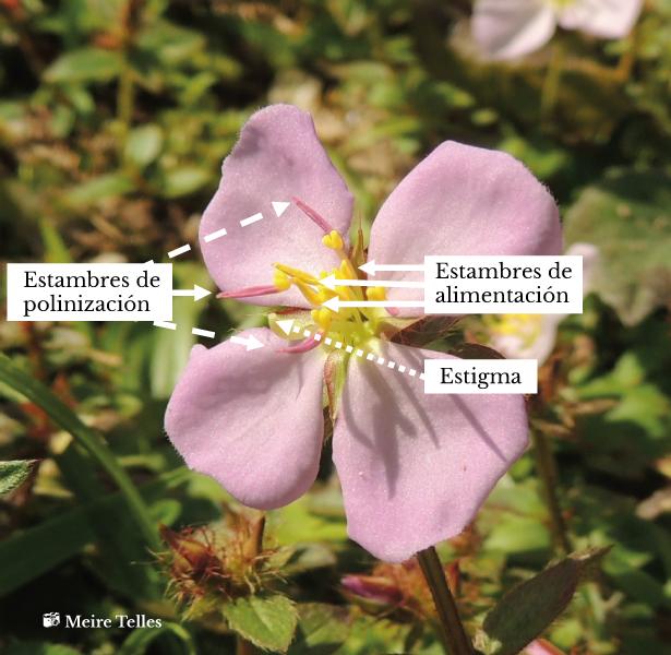 Detalles de una flor de <em>Pterolepis glomerata</em> (rótulos en español)