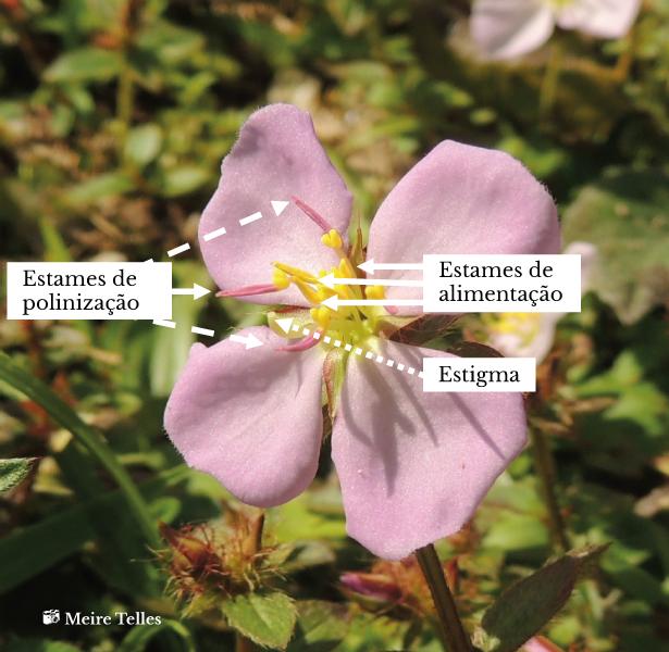Detalle de una flor de <em>Pterolepis glomerata</em> (rótulos em português)