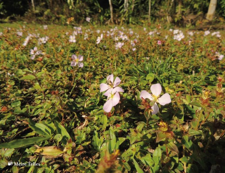 Planta Pterolepis glomerata