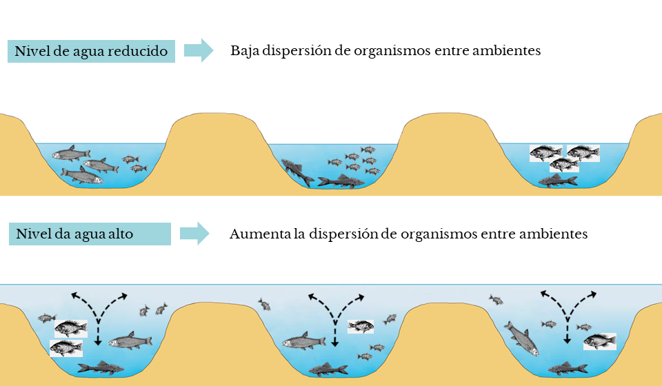 Representación esquemática del resultado en-contrado en el estudio en relación al nivel del agua en las lagunas (ES)