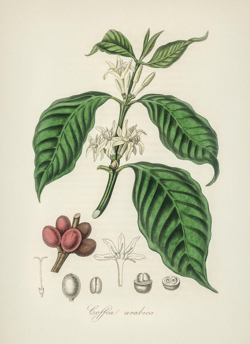 Ilustración: variedad de café Arábica