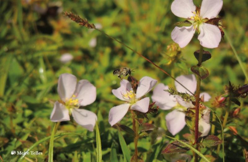 Flores visitadas por abelha