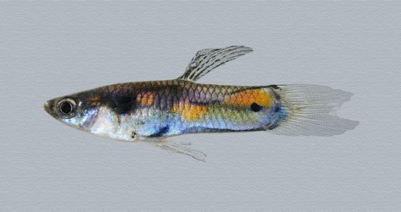 Macho de pez Guppy
