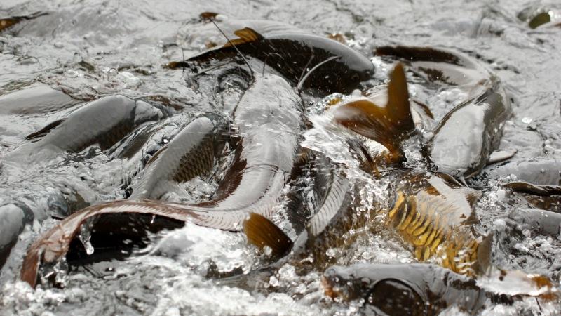 La eficiencia de una especie en la captura de presas puede predecir su impacto ecológico