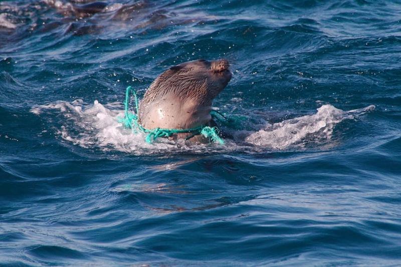 León marino atado a una red de pesca.
