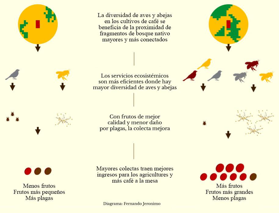 Cultivos de café, conectividad y biodiversidad