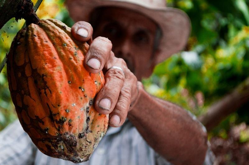Campesino cultivando cacao