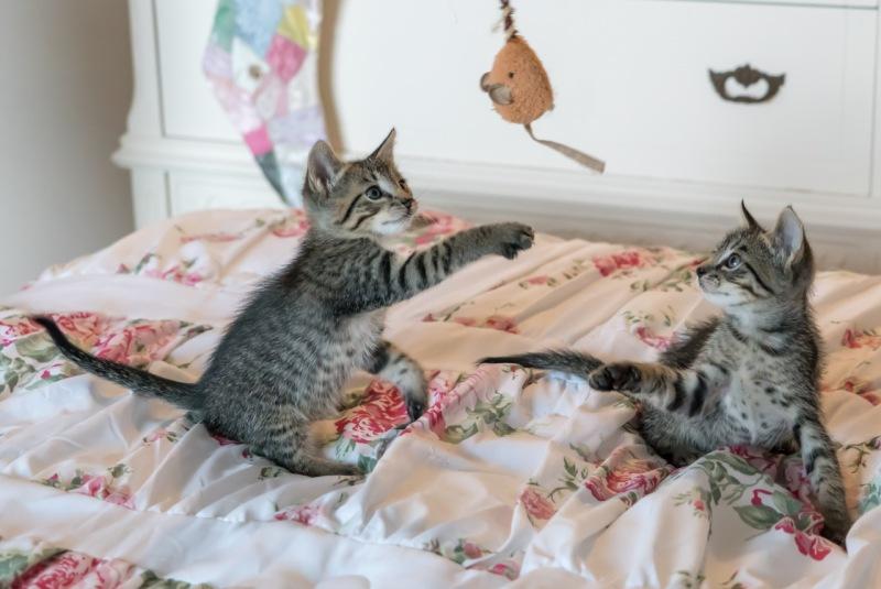 Jugar con su gato y alimentarlo mejor favorece la biodiversidad