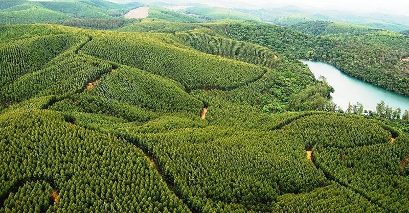 Área con plantación de eucaliptos cerca de una región con vegetación nativa.