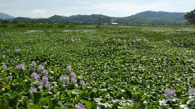 El jacinto de agua