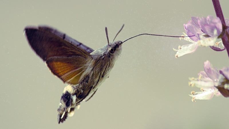 Plilla esfinge colibri