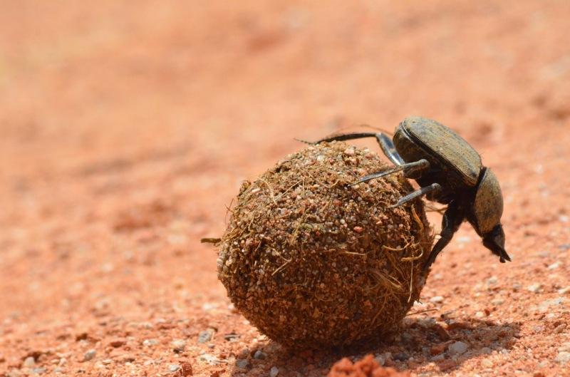 Escarabajo rueda caca