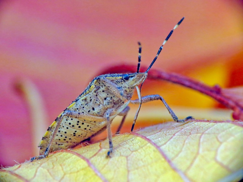 Insecto fitófago