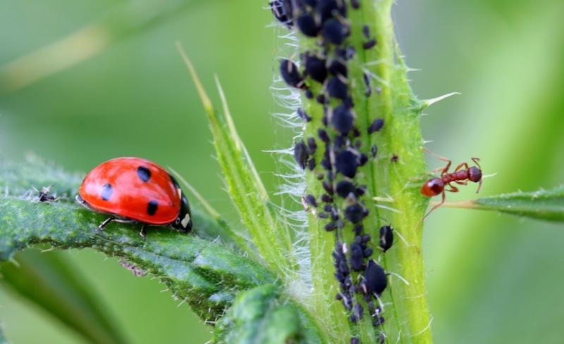 Interacción mariquita, plantas, pulgones y hormigas