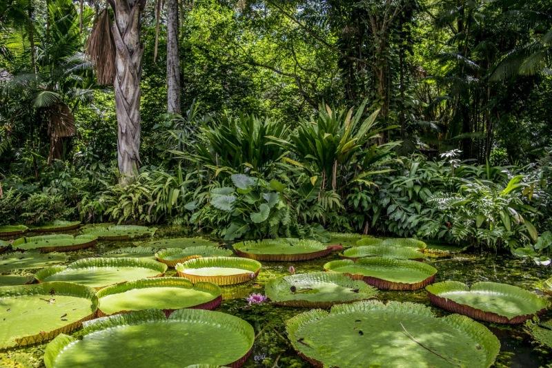 Foto de la victoria regia, planta emblemática del Amazonas