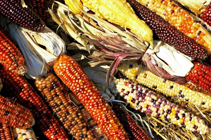 Variedades de milho criolo